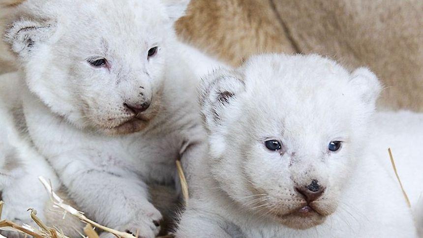 Naissance de quatre lionceaux blancs au zoo d'Amnéville