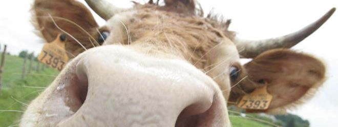 Von einem übermütigen Stier ist ein Bauer in Heiderscheid verletzt worden.