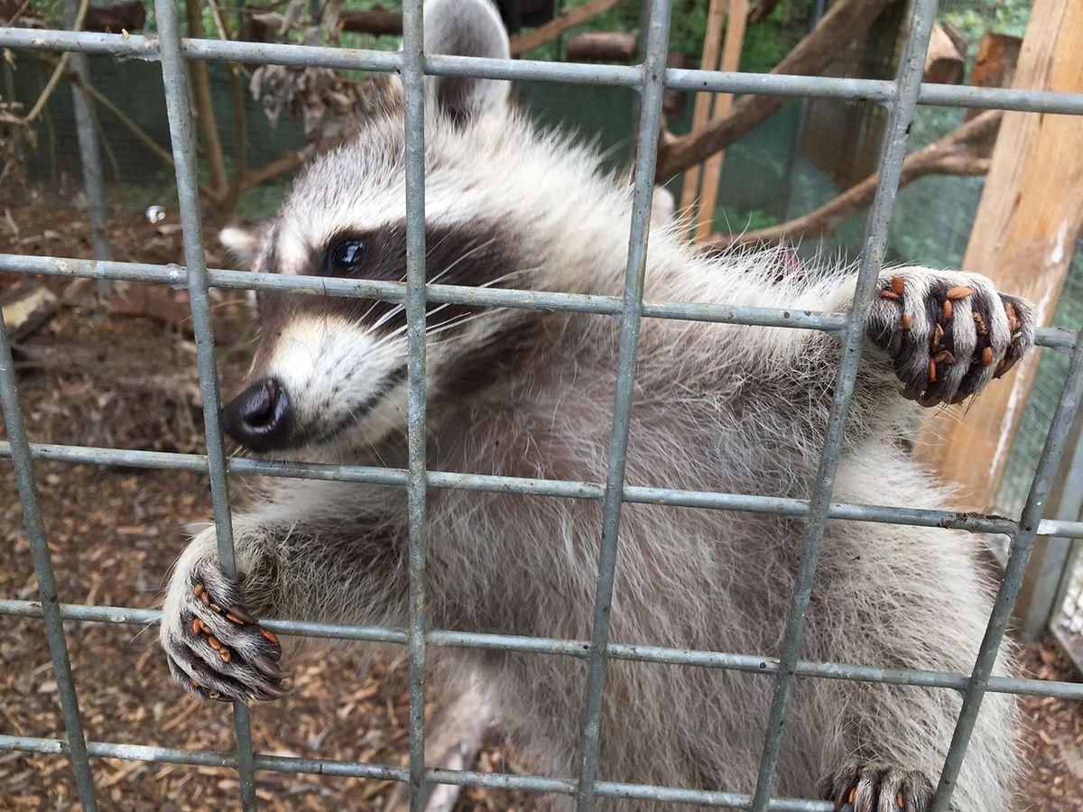 Les ratons laveurs ne sont pas très peureux.. Leur accoutumance aux humains leur permettra d'intégrer un centre animalier, probablement en France.