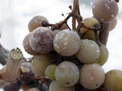 Les raisins gèlent lorsque la température est d'au moins -7°C.