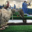08.11.2017, Vereinigte Arabische Emirate, Abu Dhabi: Mit Augenklappen sitzen kranke Falken in einem Behandlungsraum im Falken-Hospital. Ist ihr wichtigstes Sinnesorgan ausgeschaltet, können die Raubtiere auch zu Dutzenden friedlich nebeneinander sitzen. (zu dpa ««Küsschen für den Falken» - Schwäbin behandelt Haustiere der Scheichs» vom 14.03.2018) Foto: Benno Schwinghammer/dpa +++ dpa-Bildfunk +++