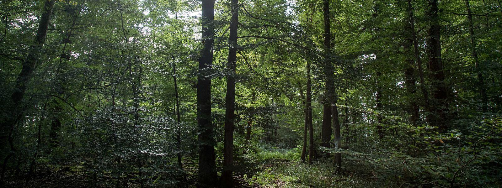 L'image idyllique de la forêt est trompeuse parce qu'en réalité de nombreux arbres sont en mauvais état.