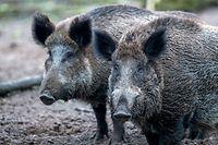 ARCHIV - 27.01.2018, Mecklenburg-Vorpommern, Glaisin: Wildschweine stehen in einem Wildgatter. Nur 60 Kilometer entfernt von der deutschen Grenze sind in Belgien Fälle von Afrikanischer Schweinepest festgestellt worden.(zu dpa «Belgien: Afrikanische Schweinepest nahe deutscher Grenze nachgewiesen» vom 13.09.2018) Foto: Jens Büttner/dpa-Zentralbild/dpa +++ dpa-Bildfunk +++