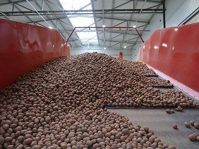 In Luxemburg ist es gesetzlich geregelt, dass Setzkartoffeln nur im Ösling angebaut werden dürfen, da dort ideale Bedingungen für den Anbau herrschen.