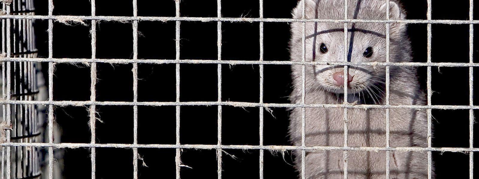 Ein Nerz in einem Käfig in einer chinesischen Nerzfarm.