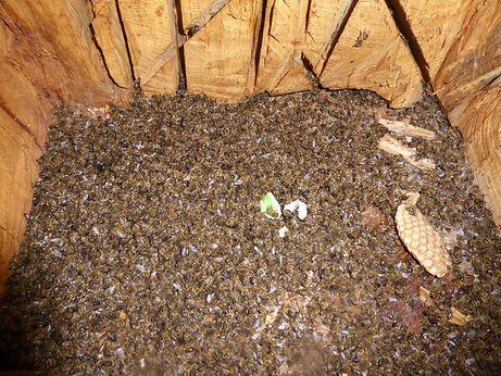 Ein Bild, das jedem Bienenhalter ins Herz sticht. Der Böller hatte in Mertzig ein ganzes Bienenvolk getötet.