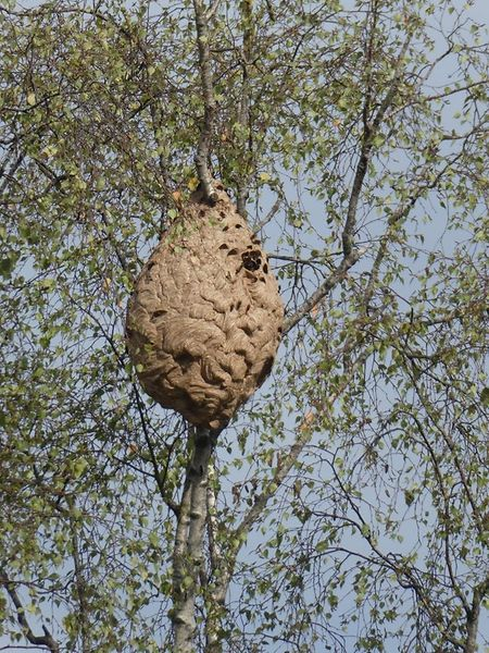 Das Nest hängt in rund 15 Metern Höhe an einem Baum.