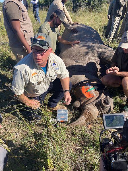 Professor James Larkin von Johannesburger Witwatersrand-Universität spritzt eine präparierte Aminosäure ins Horn eines Nashorns.