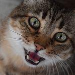 'Meow'. Quer saber o que lhe diz o gato? Há uma app para isso