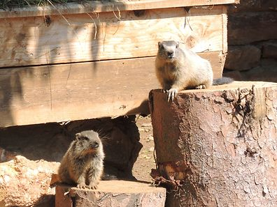 "Marmots! The newest attraction at ""Escher Déierepark"