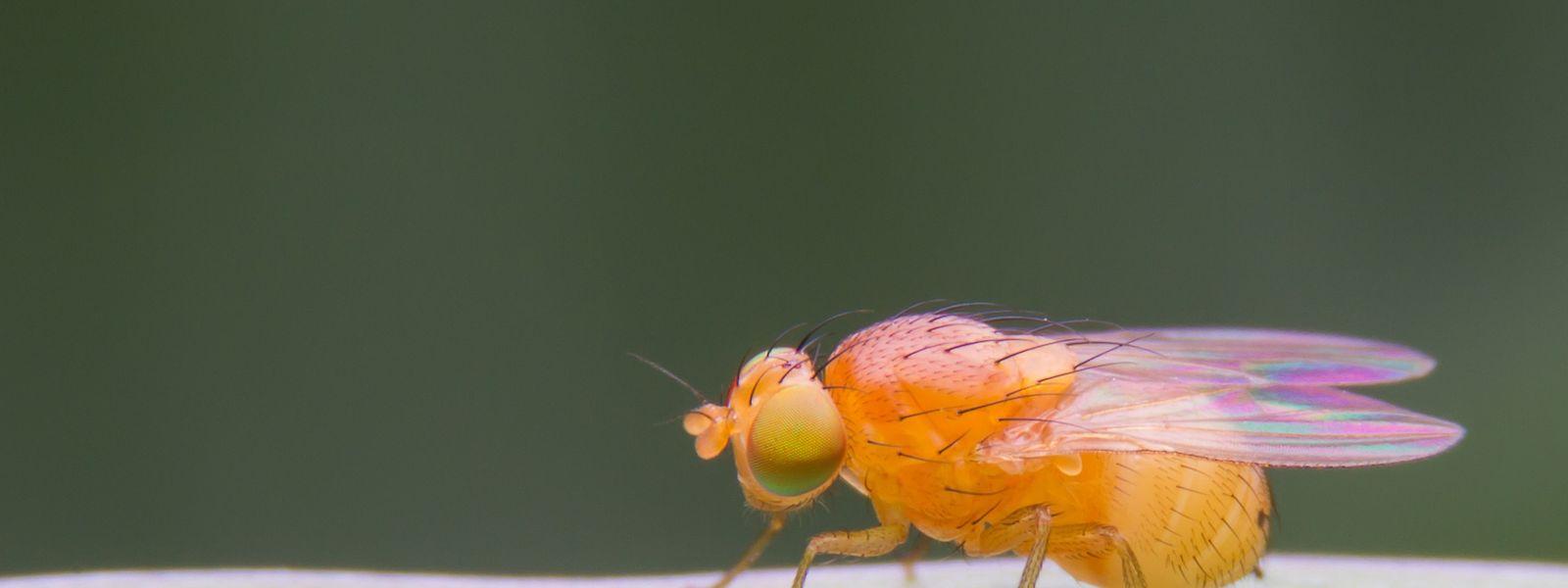 L'équipe du professeur Hoffmann a découvert les premiers récepteurs de l'immunité innée de la mouche drosophile.