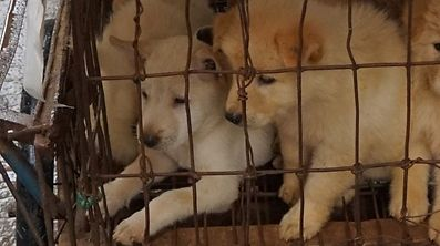 Puppies are seen in a cage at a dog meat market in Yulin, in China's southern Guangxi region on June 21, 2017.  China's most notorious dog meat festival opened in Yulin on June 21, 2017, with butchers hacking slabs of canines and cooks frying the flesh following rumours that authorities would impose a ban this year. / AFP PHOTO / STR