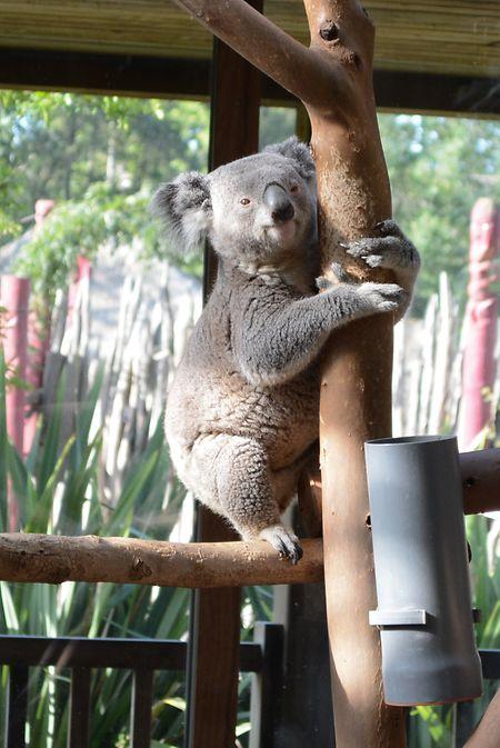 Die Koalas zählen zu den beliebtesten Tieren im Park.