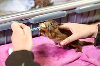 Der Eichhörnchen-Nachwuchs ist wohl während eines Sturms aus dem Nest gefallen. Bevor Nüsse geknabbert werden, besteht die Nahrung aus spezieller Tiermilch.