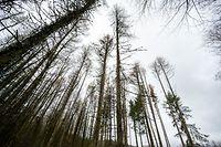 Lok , Differdange , Internationaler Tag des Waldes , Schaden Fichten Borkenkäfer  Foto:Guy Jallay/Luxemburger Wort