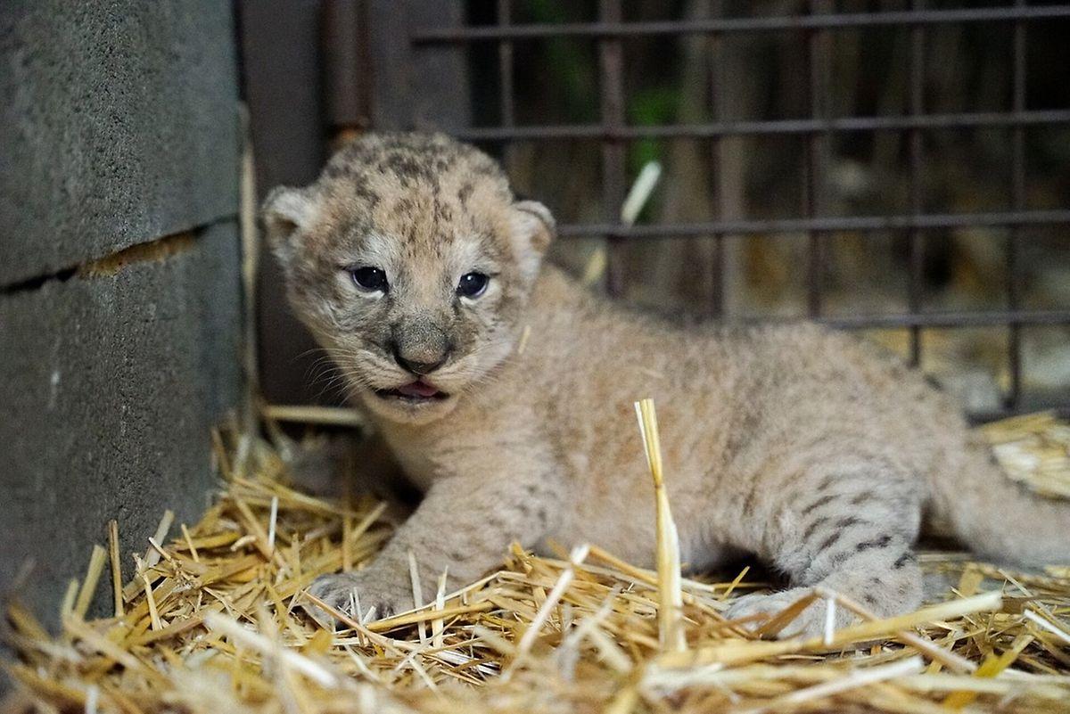 Uma das crias de Leão Africano nascidas a 22 de agosto de 2021