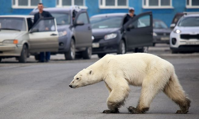 A stray polar bear walks on a road on the outskirts of the Russian industrial city of Norilsk in June 2019.