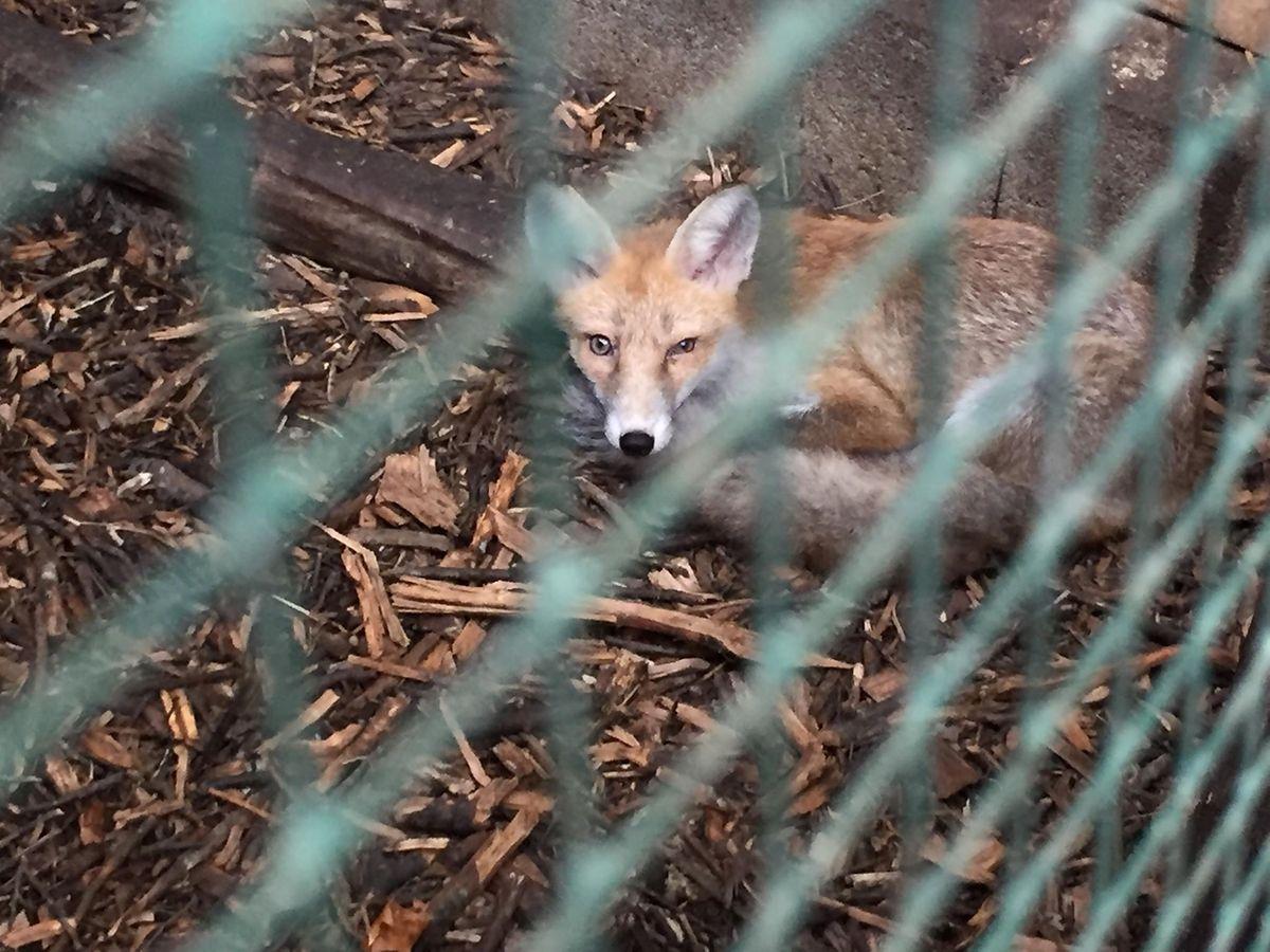 Certains animaux demandent du calme et un contact limité avec la population humaine. La rénovation du centre permettra de leur offrir des enclos isolés.