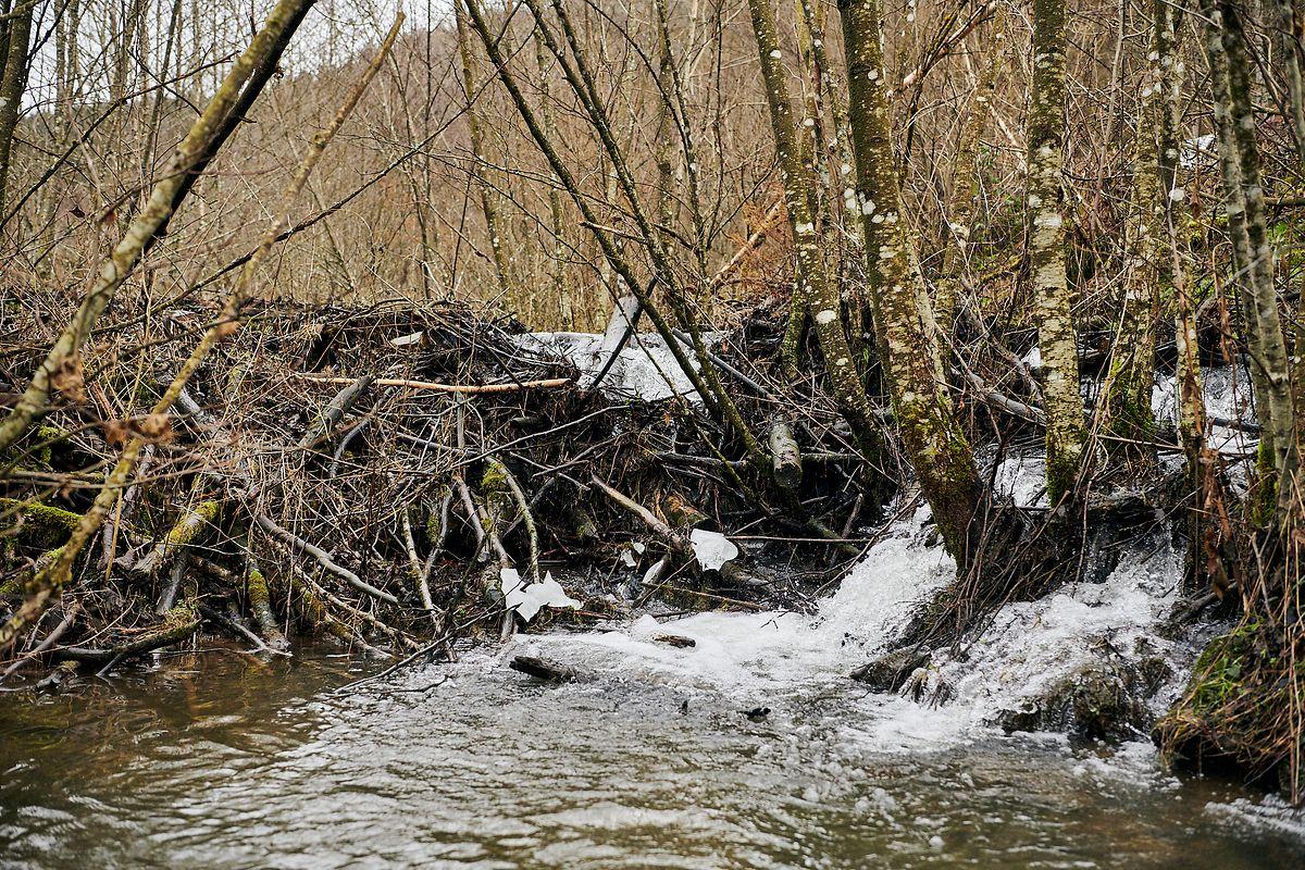 Os castores construíram este dique de 60 metros num ribeiro do Luxemburgo.