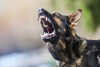 Mais de 90% dos cães polícia ou usados em missões de segurança são pastores alemães ou pastores belgas.