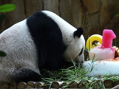 Liang Liang sniffs her 10th birthday cake during joint birthday celebrations for her and one-year old cub Nuan Nuan, at the National Zoo in Kuala Lumpur on August 23, 2016.  Giant pandas Liang Liang, aged 10, and her Malaysian-born cub Nuan Nuan, 1, were born on August 23, 2006 and August 18, 2015 respectivetly. / AFP PHOTO / MOHD RASFAN