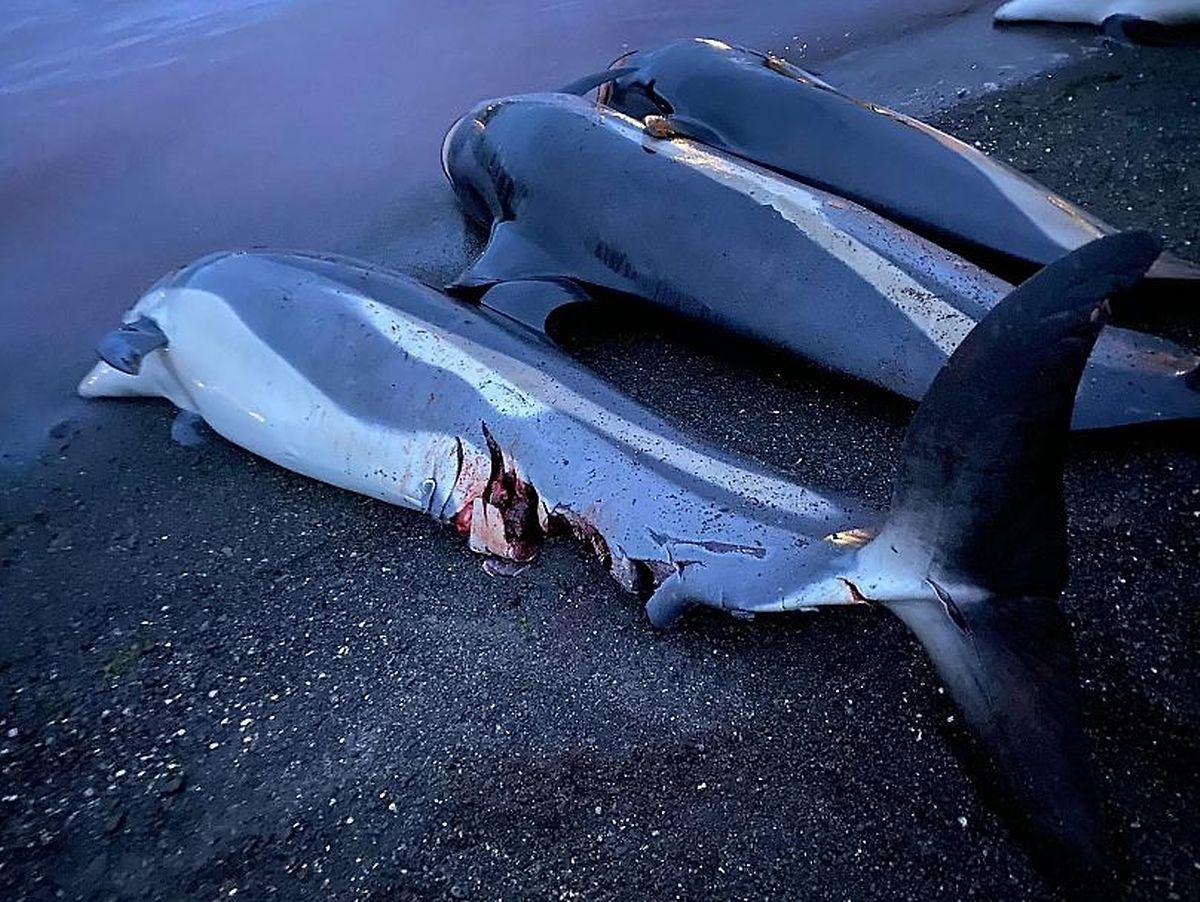 Golfinho ferido por hélice de barco a 12 de Setembro no Skálafjörður.