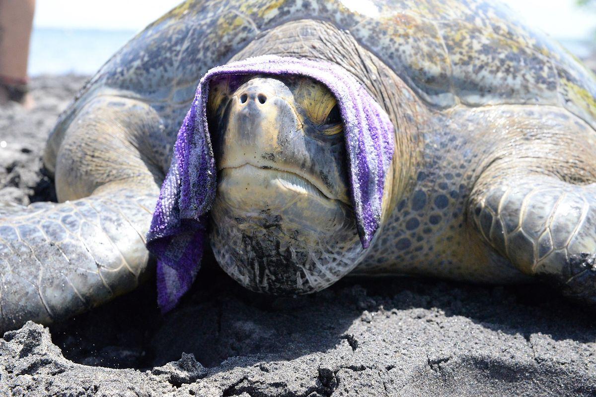 Um die Schildkröten nicht allzu sehr unter Stress zu setzen, wird der Kopf mit einem feuchten Handtuch bedeckt.