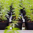 Rund 35 000 Patienten in Israel lassen sich mit medizinischem Cannabis behandeln. Nun will das Land solche Produkte auch exportieren.