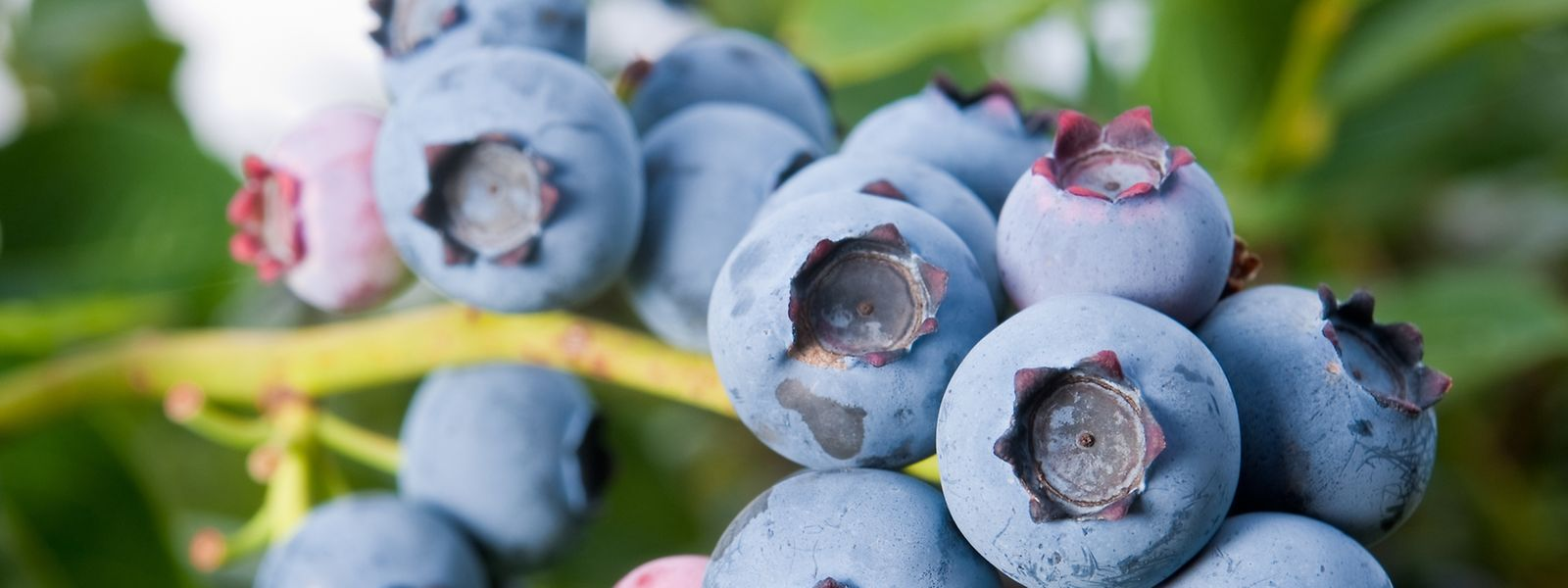 Heidelbeeren lassen sich im Garten züchten - und sie zählen zum derzeit so gehypten Superfood.