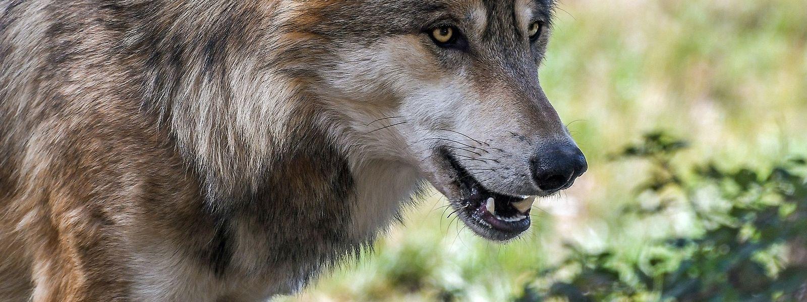 In Niederanven wurden drei tote Schafe gerissen, die möglicherweise einem Wolf zum Opfer gefallen sind.