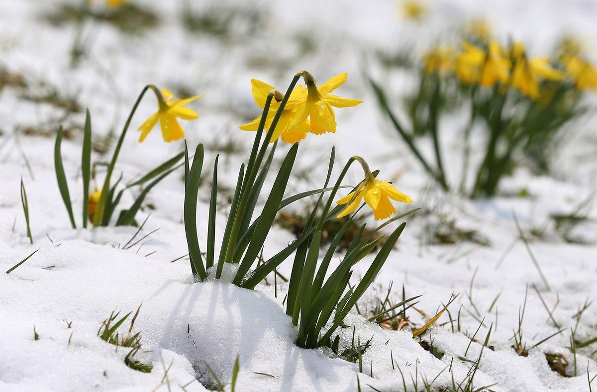 Narzissen blühen früh im Jahr und stehen manchmal noch inmitten einer dünnen Schneedecke.