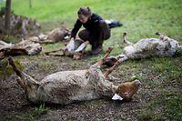 30.04.2018, Baden-Württemberg, Bad Wildbad: Zahlreiche tote Schafe werden von Vertretern der Forstlichen Versuchs- und Forschungsanstalt Baden-Württemberg (FVA) und der Forstverwaltung Calw untersucht. Ein Wolf ist vermutlich für die toten Tiere verantwortlich. Foto: Christoph Schmidt/dpa +++ dpa-Bildfunk +++