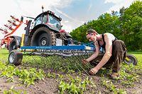 01.06.2021, Niedersachsen, Eickeloh: Johannes Blanke, Landwirt, kontrolliert ein Hanffeld, nachdem er diesen mit einem Striegel zur mechanischen Unkraut Regulierung bearbeitet hat. Bundesagrarministerin Klöckner stellt am Dienstag (22.06.2021) neue Daten zur Biolandwirtschaft für das vergangene Jahr vor. Der Ökolandbau hatte zuletzt weiter zugelegt. Foto: Philipp Schulze/dpa +++ dpa-Bildfunk +++
