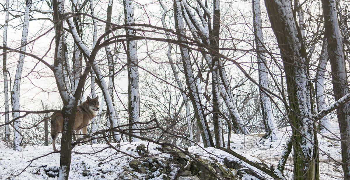 20 wolves in seven packs roam the 8 hectare Wolfpark in Merzig Photo: Shutterstock