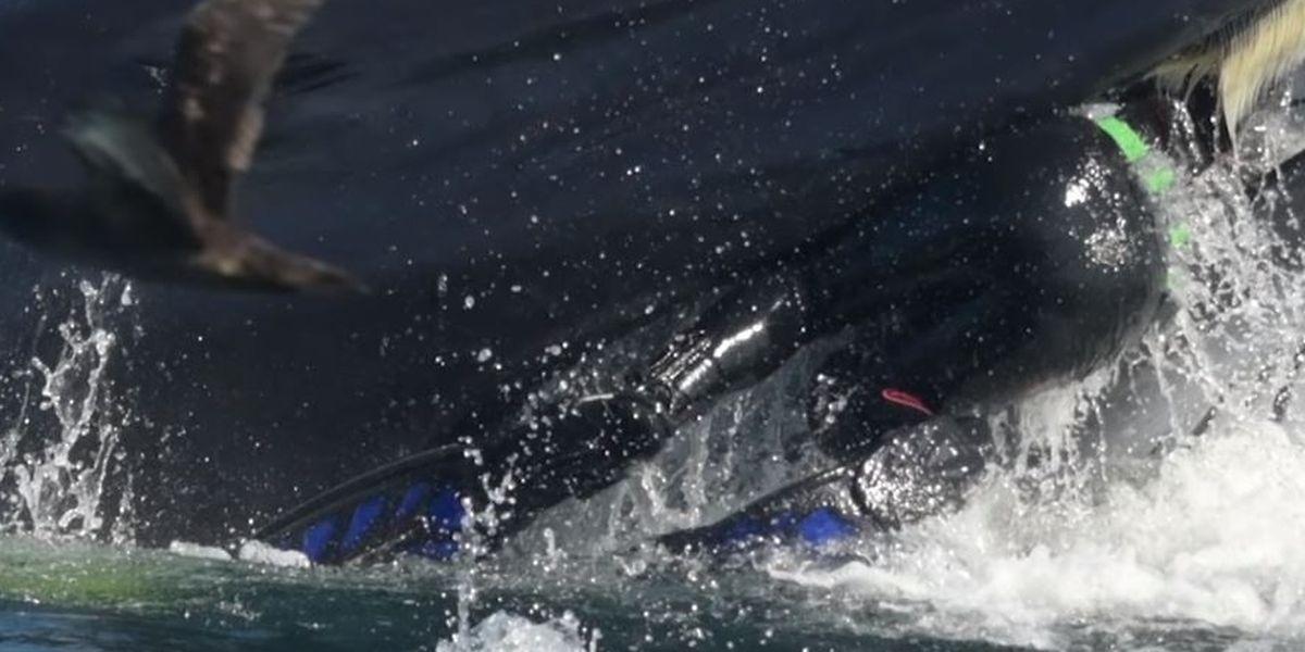 Menschlicher Beifang: Ein Taucher wäre in Afrika beinahe von einem Wal verschluckt worden.