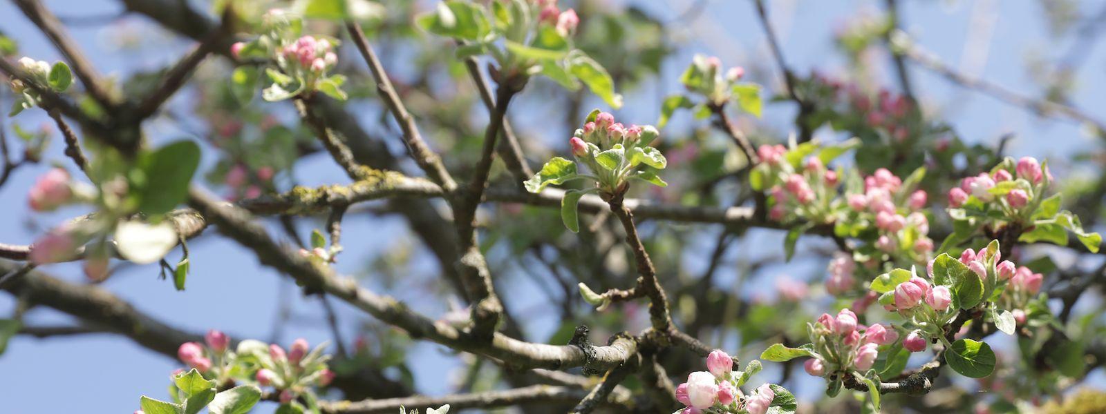 Man verarbeitet bei Ramborn heimische Apfelsorten – aber auch Birnen und Quitten – als Cuvée oder auch sortenrein.