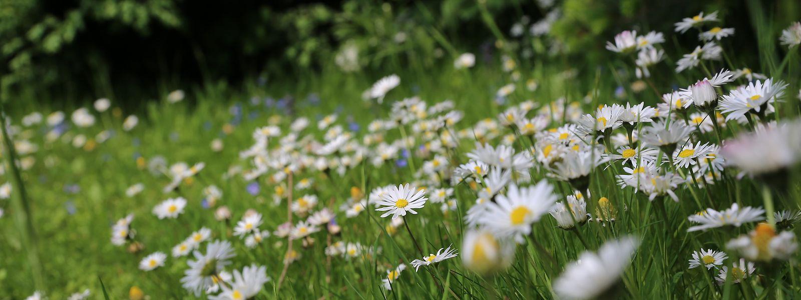 Kräuter- oder Blumenrasen sind ökologisch wertvoll und sehr pflegeleicht.