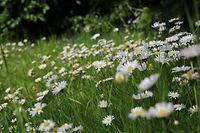 ARCHIV - Zum Themendienst-Bericht von  MelanieÖhlenbach vom 3. September 2020:  Kräuter- oder Blumenrasen sind ökologisch wertvoll und sehr pflegeleicht. Foto: Mascha Brichta/dpa-tmn - Honorarfrei nur für Bezieher des dpa-Themendienstes +++ dpa-Themendienst +++