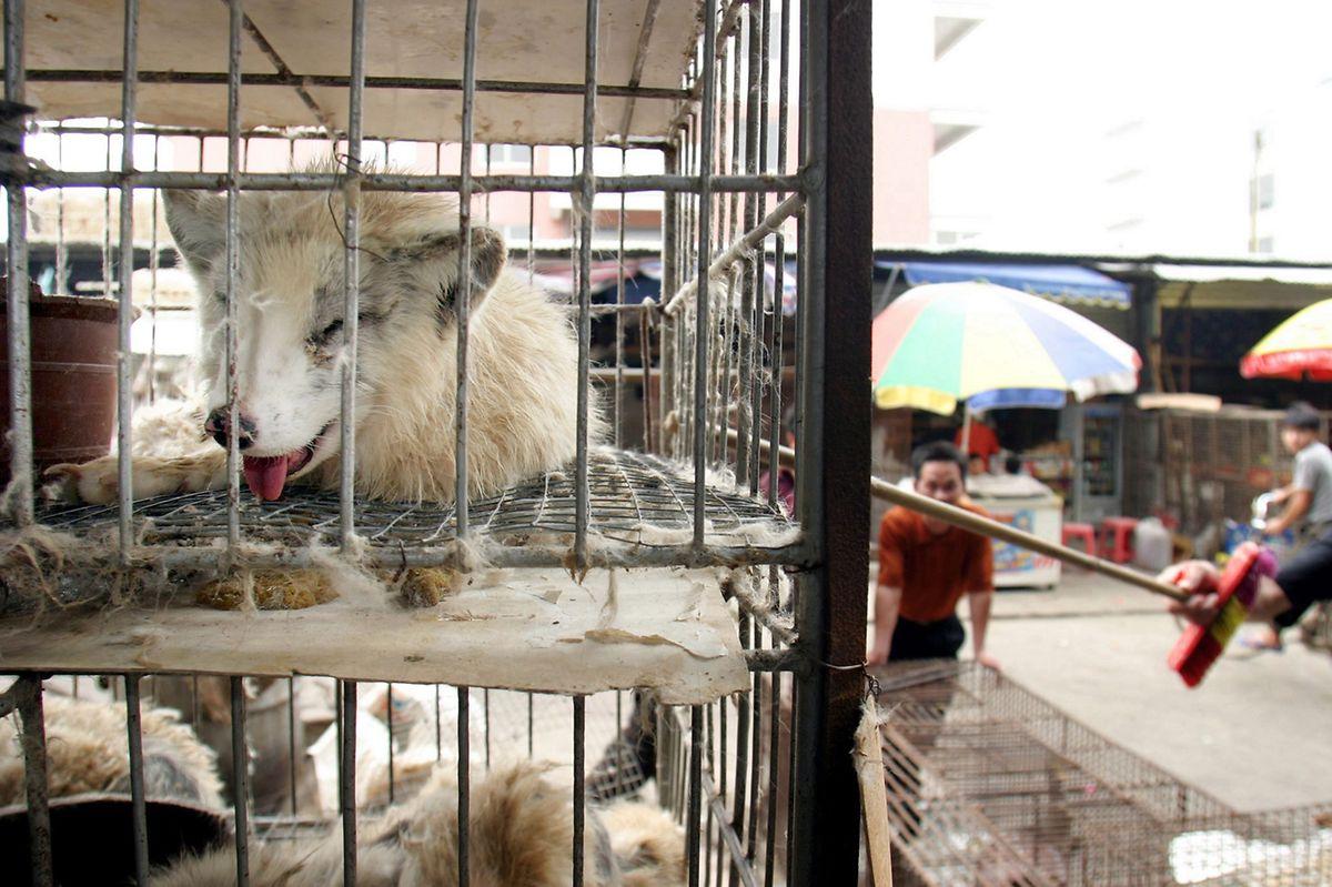 Marderhunde liegen in engen Käfigen auf dem Xin Yuan Markt in Guangzhou.