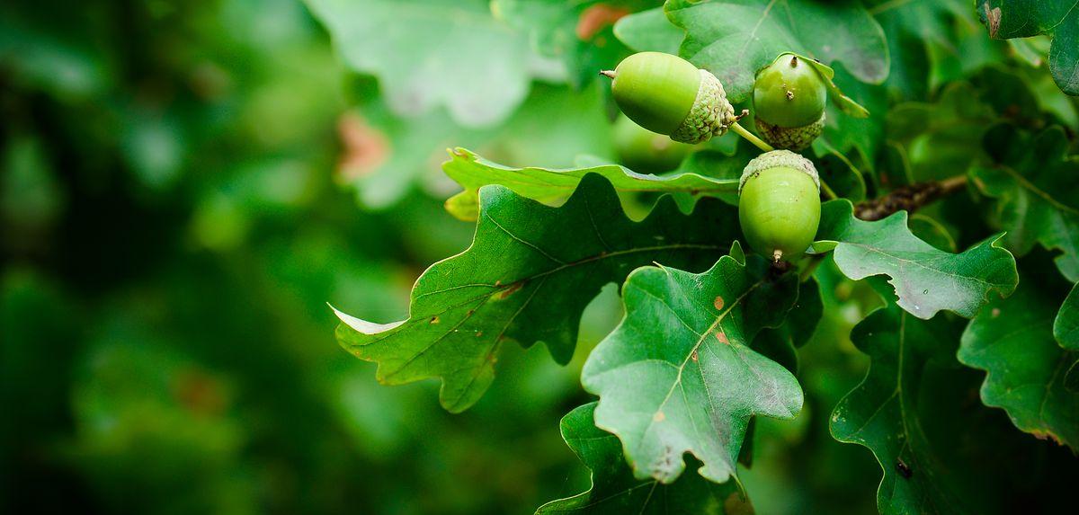 Die Eichenprozessionsspinner, die zunächst bräunlich und später geschwärzt mit weißen Seitenstreifen erscheinen, ernähren sich hauptsächlich von Eichenblättern (siehe Bild). Nur selten befallen die Raupen auch andere Baumarten.