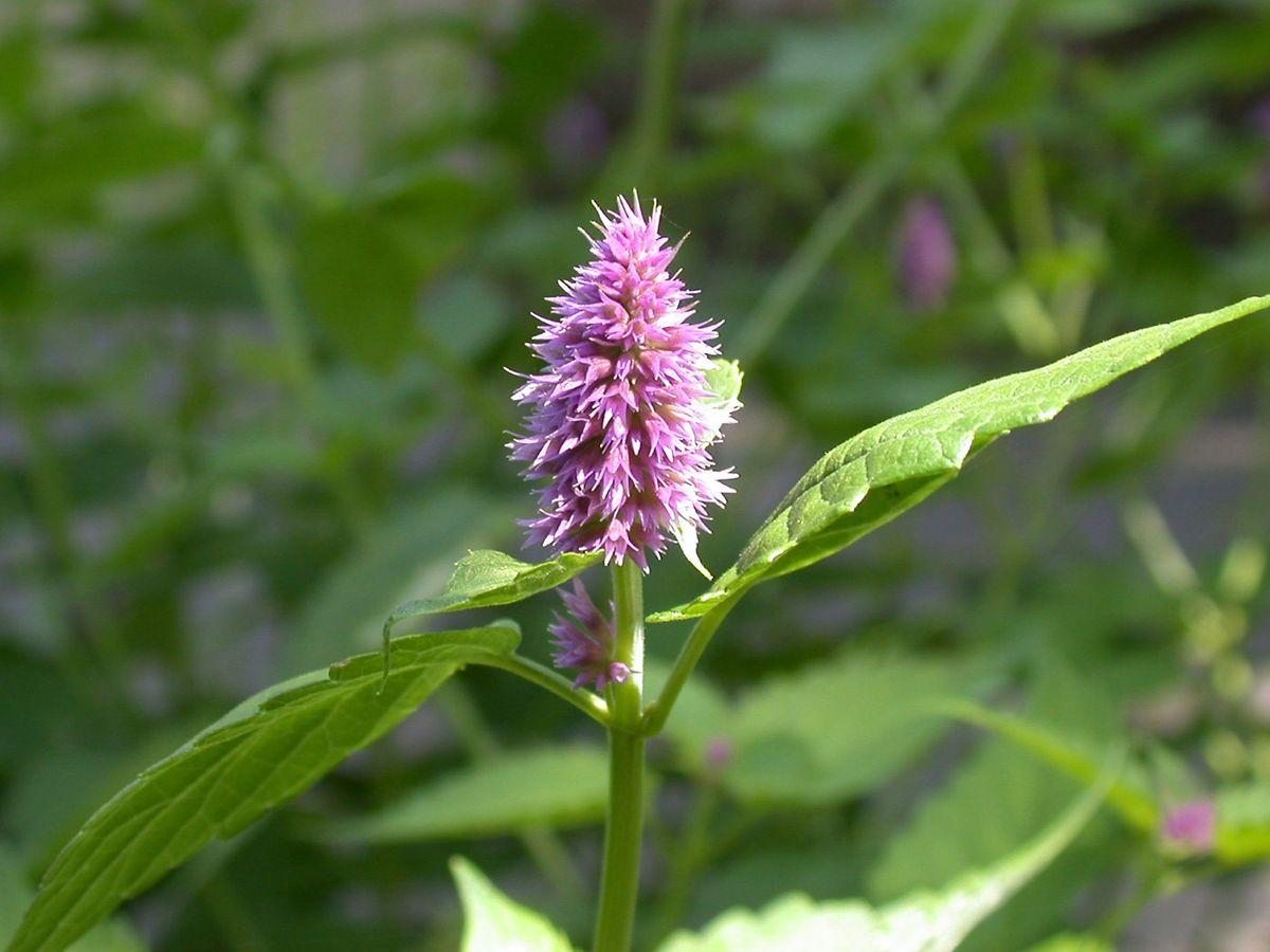 Die vielen Minze-Sorten besitzen nicht nur dekorative Blätter sondern bilden auch sehr hübsche Blüten.
