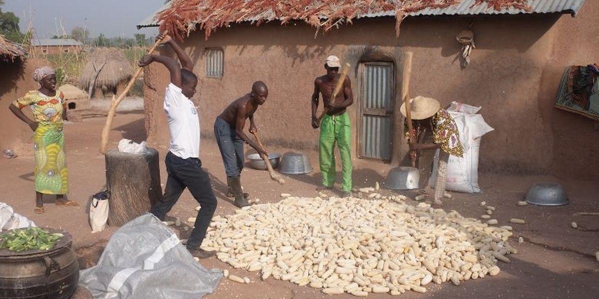 Im Norden des Benin wird die Maisernte mit viel Muskelkraft verarbeitet.