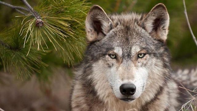 Der Wolf ist offenbar zurück in Luxemburg. Glückslos oder Katastrophe? Diese Frage beantworten Naturschützer und Tierhalter wohl unterschiedlich.