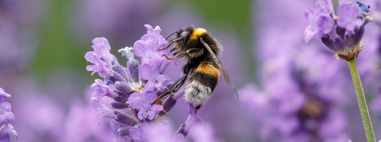 Hummeln und Bienen sammeln auch Pollen von Zierpflanzen.