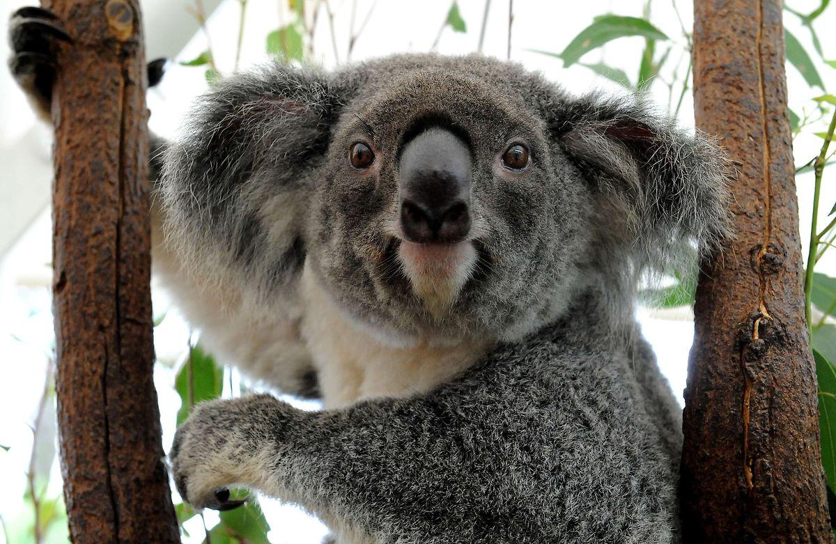 Bei Hitze klettern Koalas ausnahmsweise von ihren Eukalyptusbäumen.