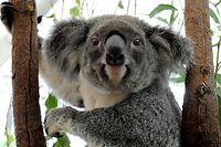 "(FILES) This file picture taken on January 15, 2011 shows a koala displaced by floodwaters recovering in an emergency shelter at the Lone Pine Koala Sanctuary in Brisbane, in Queensland state. Australia's Queensland state said on May 31, 2015 it will list the koala as a ""vulnerable species"" throughout the northeastern region, saying urban expansion, car accidents and dog attacks were threatening the much-loved furry animal.         AFP PHOTO / FILES"