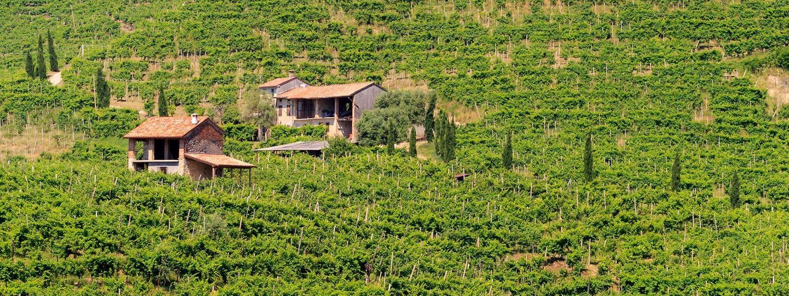 Echte Handarbeit: In den Hängen rund um Valdobbiadene ist keine maschinelle Weinlese möglich.