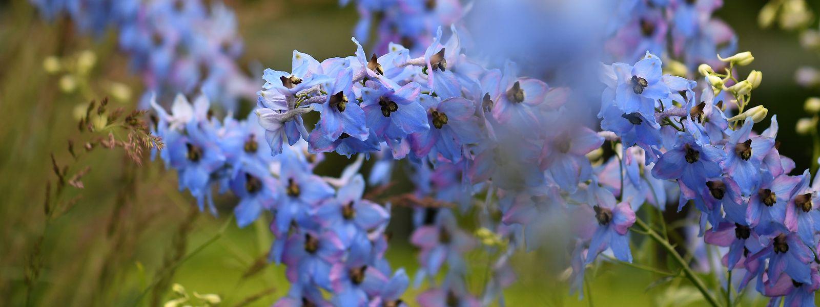 Garten-Rittersporne bestechen gleichermaßen durch ihre Farben- und Blütenpracht.