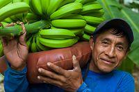 Santos More, carries bananas at a banana farm.
