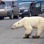 Rússia. Urso polar grafitado com número de tanque soviético
